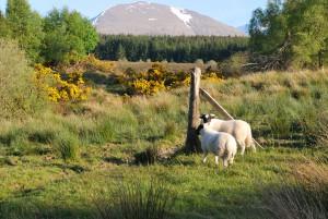 Schafe, nicht zu vergessen: Das Panorama!